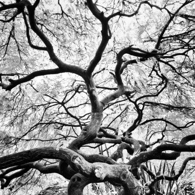 japanese-maple-tree_t20_Jvzwp9